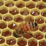 Honeybee working - Plan Bee Ltd