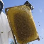 Beekeeper checking frame - Plan Bee Ltd