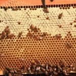Bees working - Plan Bee Ltd