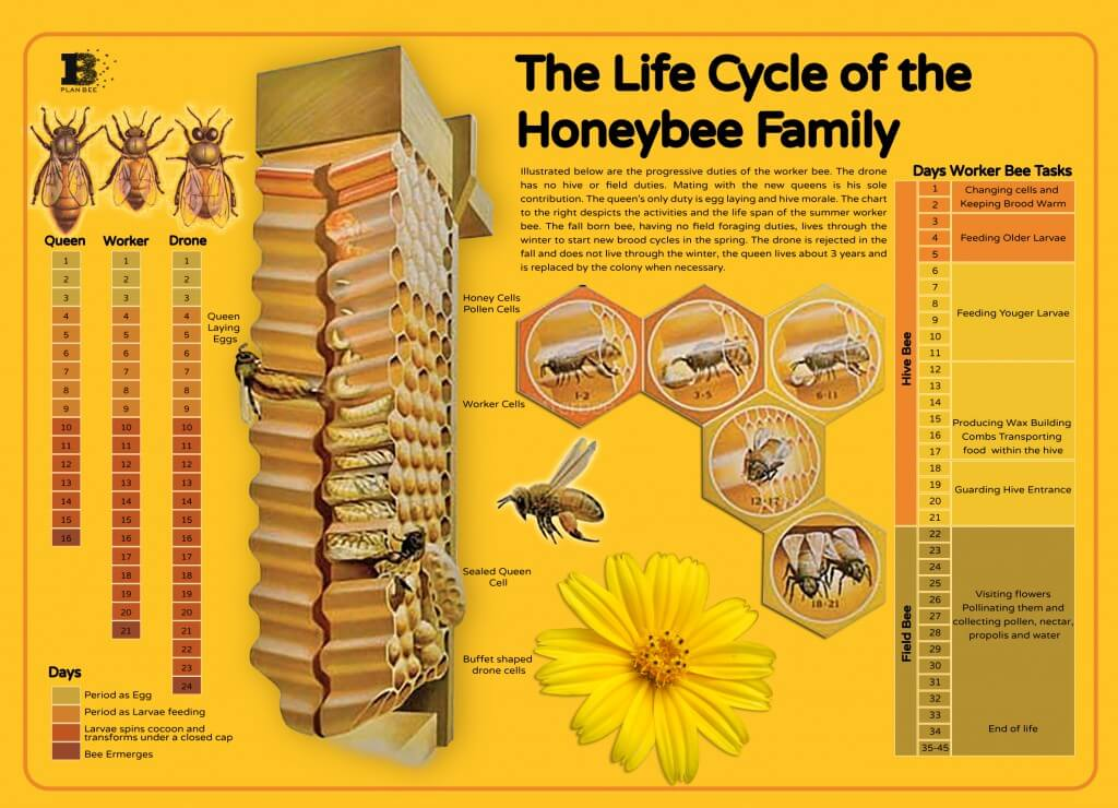 Bees_lifecycle_Plan_bee_ltd