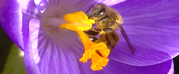 Bee pollinating - Plan Bee Ltd