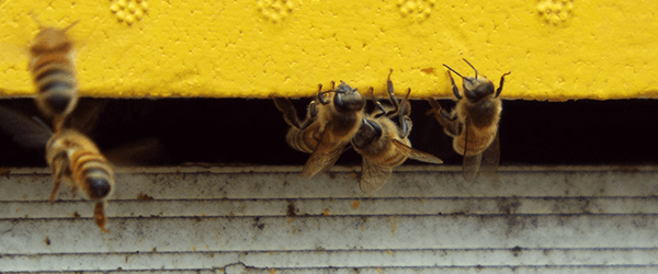 Bees at the entrance of the hive - Plan Bee Ltd