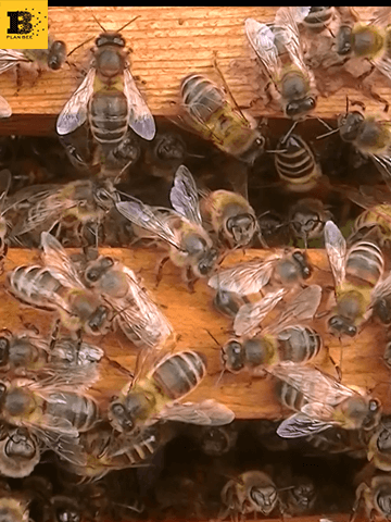 Honeybees inside a beehive - Plan Bee Ltd