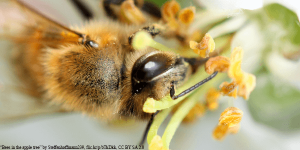 Honey Bee pollinating flower from apple tree - Plan Bee Ltd