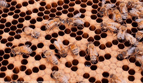 Honey Bees capping the honeycomb - Plan Bee Ltd