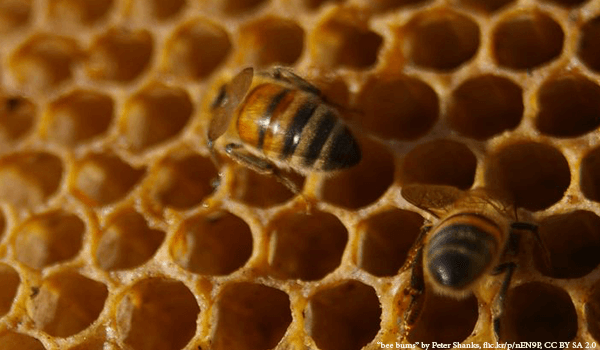 Processor Honey Bee filling cell with honey - Plan Bee Ltd
