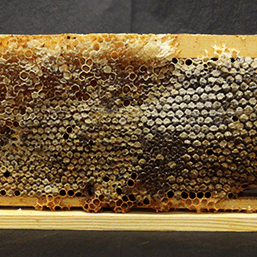 Full Frame of Raw Honeycomb 2kg 2 - Plan Bee Ltd