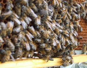 Honeycomb Bees Web1